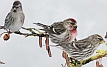 Common Redpoll from the Crossley ID Guide Britain and Irelandxx.jpg