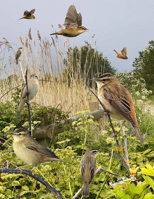 Sedge Warbler from the Crossley ID Guide Britain and Ireland.jpg