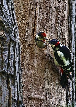 256px-Dendrocopos major -London, England -male feeding chick-8.jpg