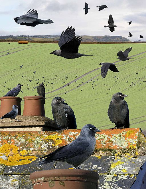 Eurasian Jackdaw from the Crossley ID Guide Britain and Ireland.jpg