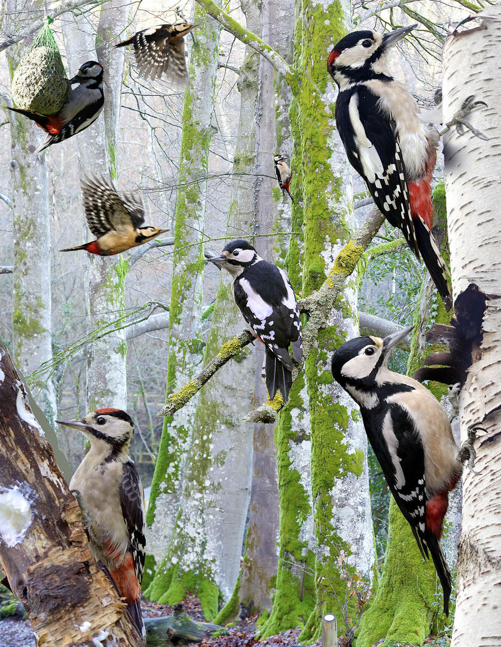 Great Spotted Woodpecker from the Crossley ID Guide Britain and Ireland.jpg