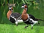 128px-Chester zoo red breasted goose.jpg