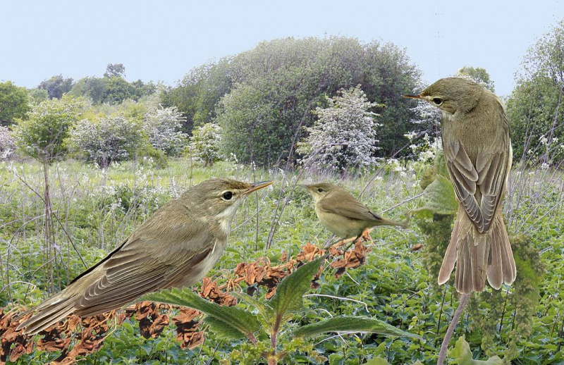 Marsh Warbler from the Crossley ID Guide Britain and Ireland.jpg