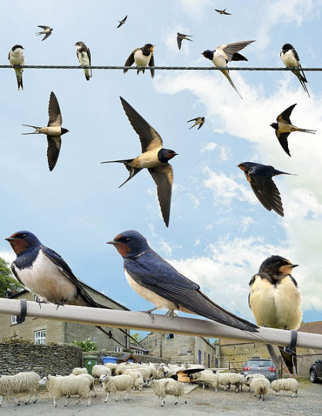 Súbor:Swallow from the Crossley ID Guide Britain and Ireland.jpg