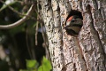 256px-Syrian Woodpecker (Dendrocopos syriacus) - peeking out of it's hole (nest).JPG