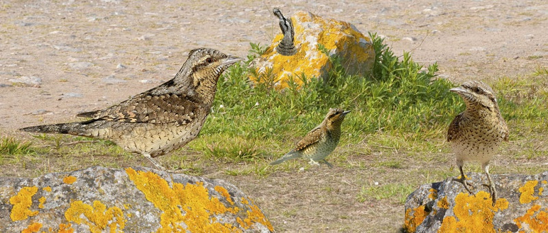 Wryneck from the Crossley ID Guide Britain and Ireland.jpg