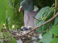 256px-Common Wood Pigeon with newly hatched young.jpg